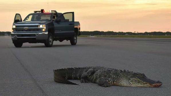 """美空军基地迎来""""不速之客"""":一只鳄鱼爬上跑道"""