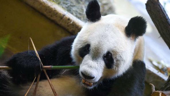 """大熊猫""""园园""""亮相维也纳 外媒:总统亲自迎接 超级有面子"""
