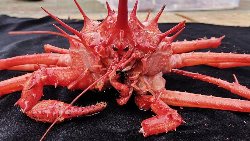 """""""发现""""号在西太平洋海山采集到深海蟹"""