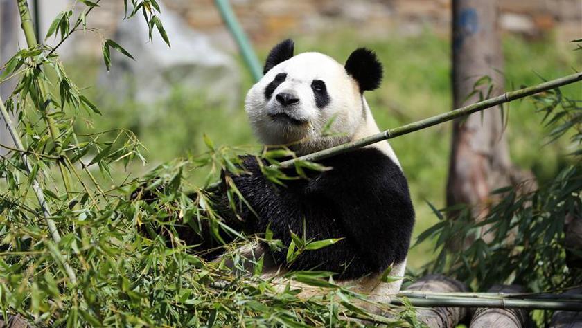 """全球唯一大熊猫三胞胎姐姐""""萌萌""""成功交配"""