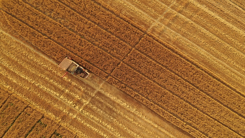 雄安新区:麦子熟了