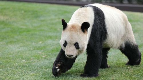"""育有15子女的旅日大熊猫父亲节收特別礼物:4只""""雪熊猫"""""""