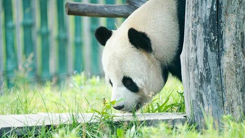 俄媒:莫斯科动物园为旅俄大熊猫如意和丁丁庆生