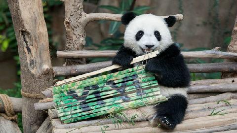 """马来西亚第二只大熊猫被命名为""""谊谊"""" 外媒:象征中马友谊"""