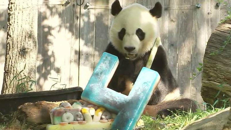 """迎来4岁生日 旅美熊猫""""贝贝""""即将返华"""