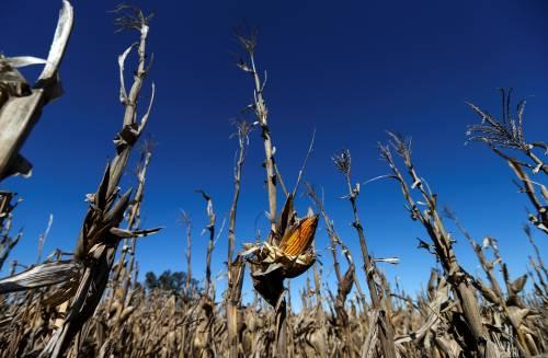 日本承诺购买美国玉米,真实目的原来是……