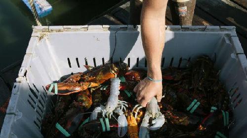 """英媒:对华出口量远超美国 加拿大龙虾成""""意外赢家"""""""