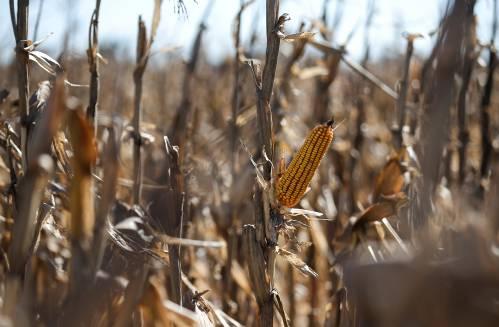 日媒:国际玉米价格急跌,美国库存增加……