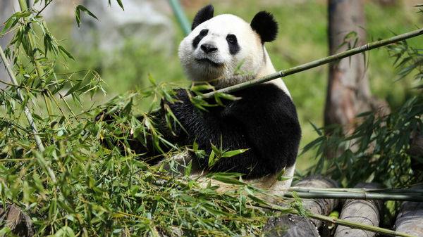 不仅是大熊猫食物 西媒:世界应向中国学习利用竹子