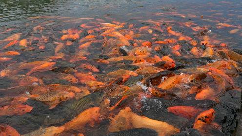 美媒:中国鲤鱼养殖可追溯至新石器时代早期