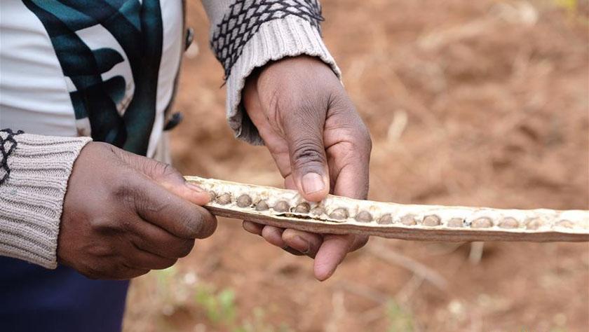 """中国""""公司+科研+农户""""模式助力肯尼亚减贫事业"""