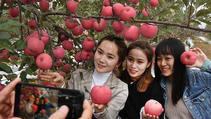 陜西志丹:蘋果產業助農增收