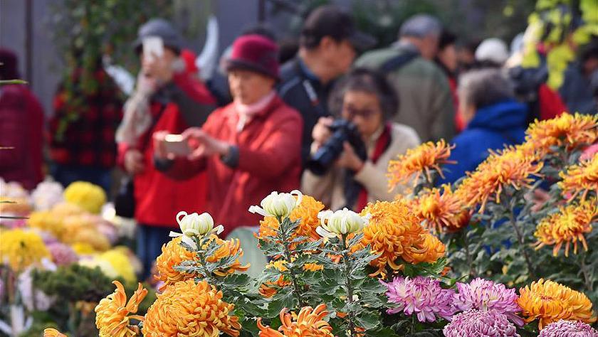北京:金秋赏菊正当时