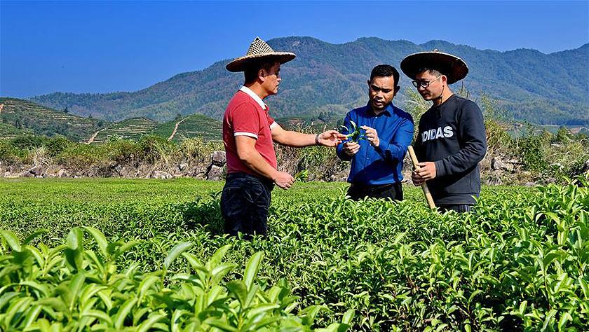 福建武夷山:茶葉合作社打開致富門路