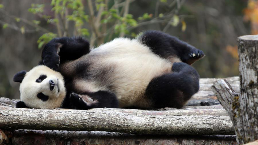 """四只大熊猫亮相""""童话世界""""九寨沟"""