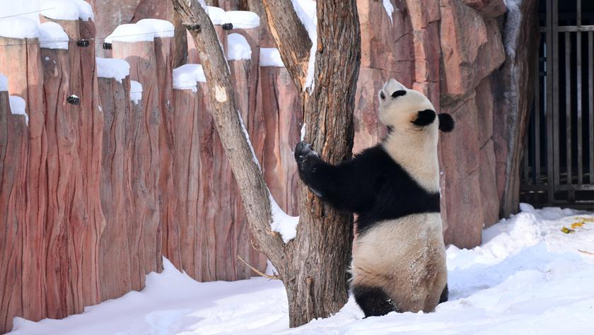 """大熊貓雪后""""撒歡"""""""