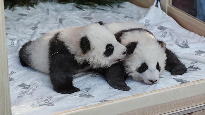 """在德出生大熊猫双胞胎命名为""""梦想""""""""梦圆"""""""