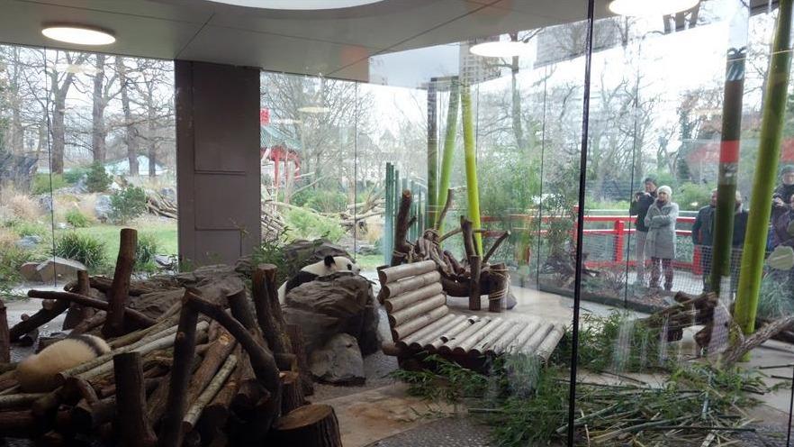 柏林动物园大熊猫幼崽首次与公众见面