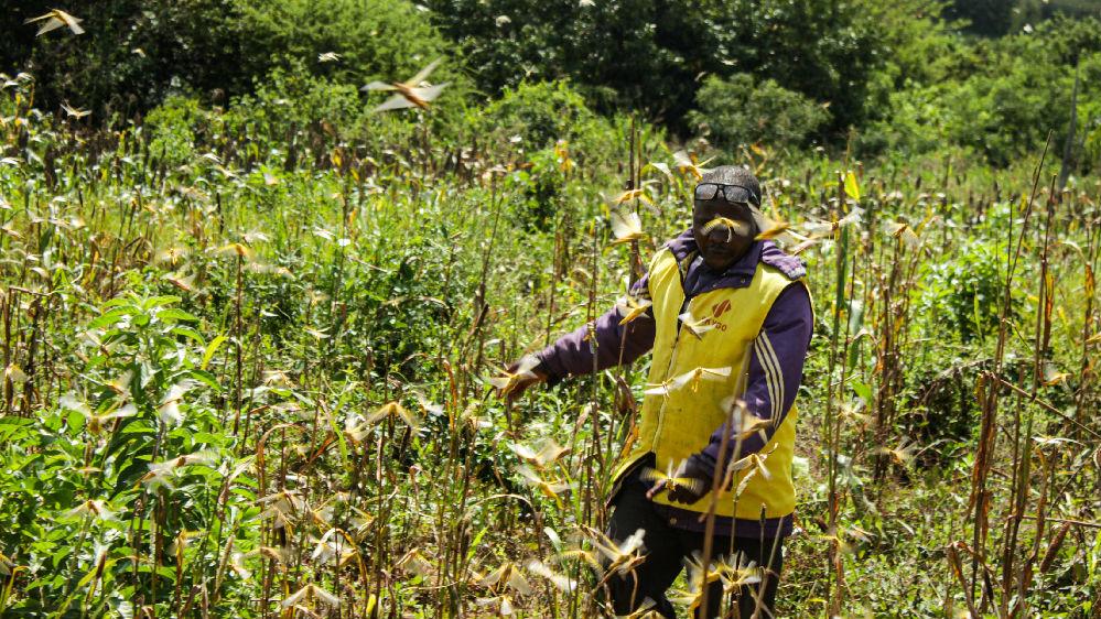 千亿沙漠蝗侵袭东非西亚 联合国警告或引发粮食危机