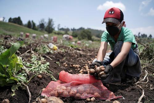 一名戴口罩的哥伦比亚少年3月27日在地里采集土豆(路透社)