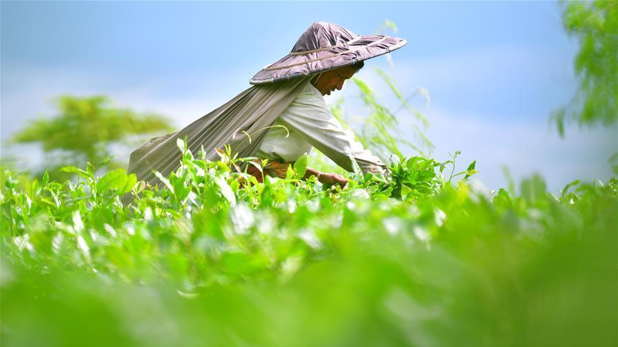 國際茶日:共品茶香茶韻 共享美好生活