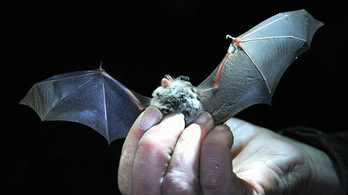 美媒:为什么蝙蝠不会因为携带病毒而得病 但人类却会?