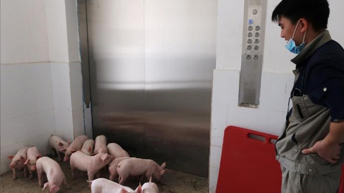 外媒关注中国多地城郊新建工业化养猪场