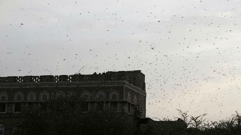 也门首都萨那再遭蝗虫入侵