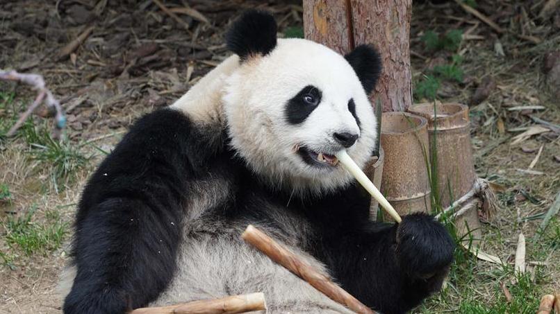 青海西宁:大熊猫乐享高原生活