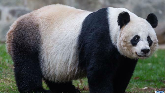 """22岁""""高龄""""旅美大熊猫""""美香""""顺利产仔"""