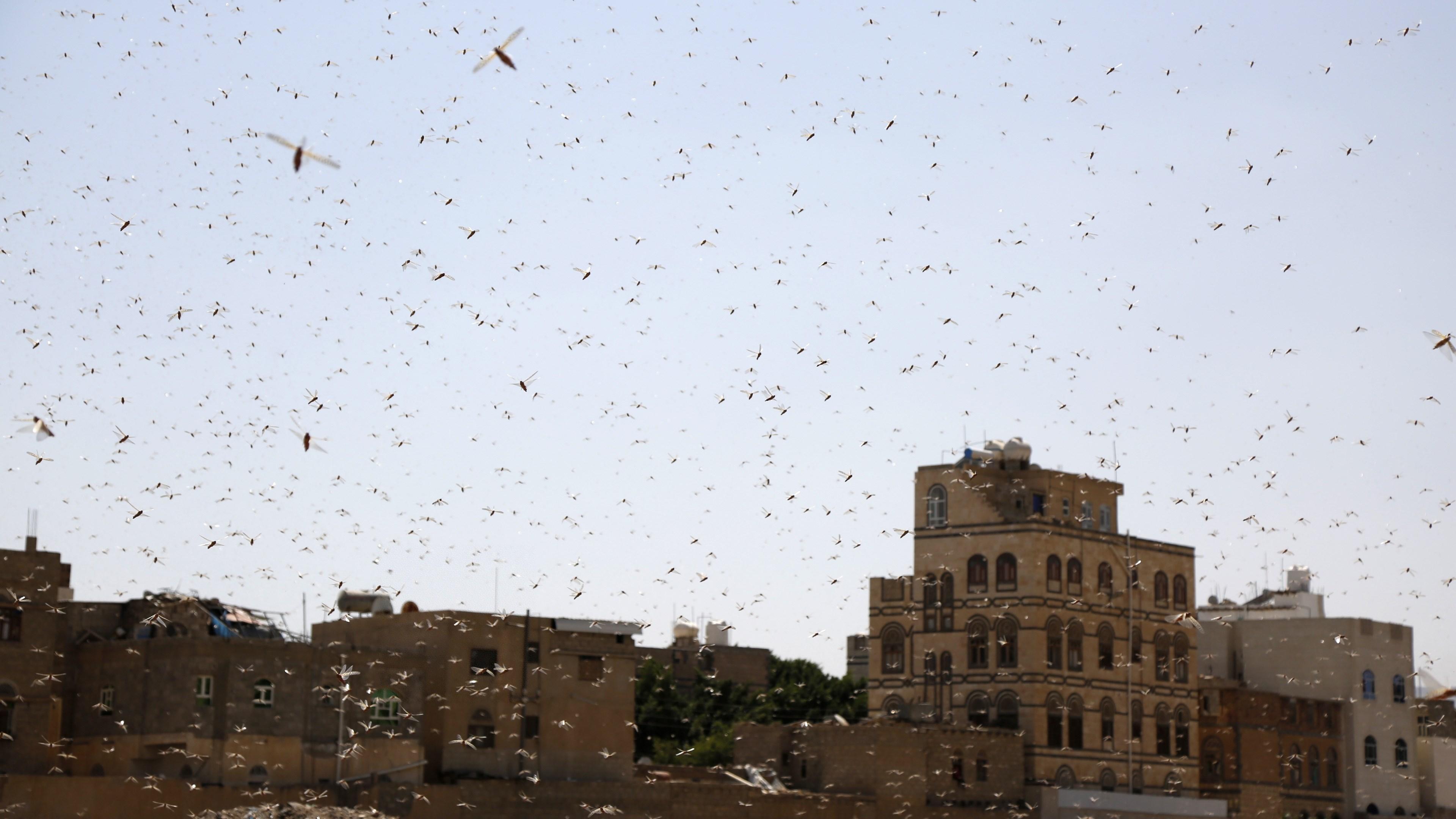 也门遭遇蝗虫入侵