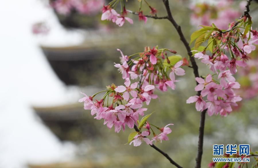 3月3日,武汉东湖樱花园内樱花开放。当日,2021武汉东湖樱花节正式开幕,东湖樱花园内樱花盛开,美不胜收。同日,湖北省正式向全国发出赏樱邀请,期待援鄂英雄返汉返鄂,共赴樱花之约。新华社记者 程敏 摄