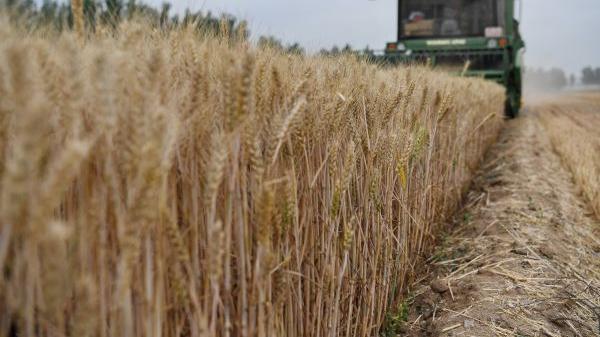 日媒:小麦价格涨至七年来高位