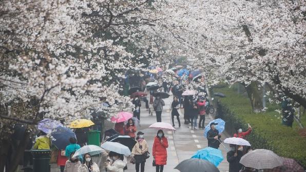 美媒:這里的櫻花正爛漫,你打卡了嗎?