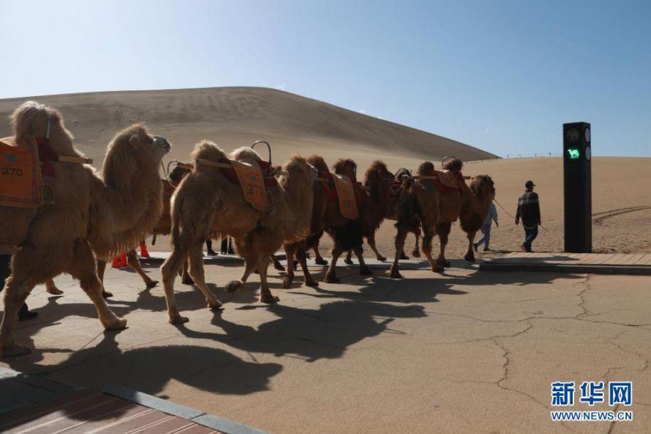 """4月11日,敦煌市鸣沙山月牙泉景区的交通信号灯""""绿骆驼灯""""亮时,农户牵着骆驼有序通过。近日,具有骆驼元素的交通信号灯亮相甘肃省敦煌市鸣沙山月牙泉景区。针对景区内骆驼行走的路线、游人步行道和车辆行驶道交叉的情况,鸣沙山月牙泉景区设计出引导人、车和骆驼分流用的交通信号灯,确保景区交通安全有序。新华社发(张晓亮 摄)"""