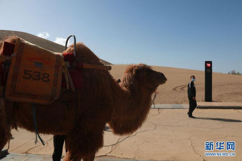 """4月11日,敦煌市鸣沙山月牙泉景区的交通信号灯""""红骆驼灯""""亮时,农户牵着骆驼等候。近日,具有骆驼元素的交通信号灯亮相甘肃省敦煌市鸣沙山月牙泉景区。针对景区内骆驼行走的路线、游人步行道和车辆行驶道交叉的情况,鸣沙山月牙泉景区设计出引导人、车和骆驼分流用的交通信号灯,确保景区交通安全有序。新华社发(张晓亮 摄)"""