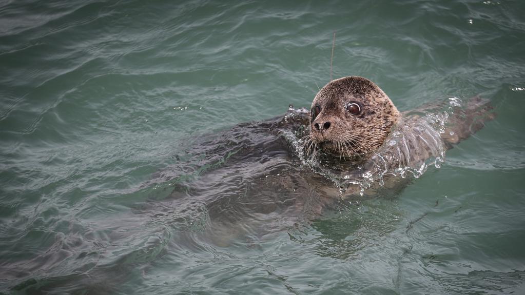 西太平洋斑海豹回家了