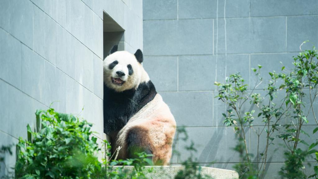 """""""靓仔们""""的惬意生活——探访澳门大熊猫馆"""