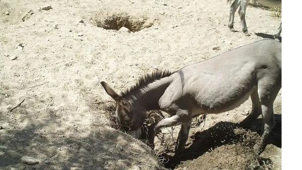 英媒:马驴沙漠挖井 提高物种丰富度