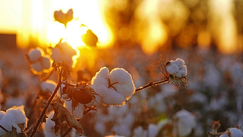 西媒文章:新疆棉花成西方制裁中国幌子