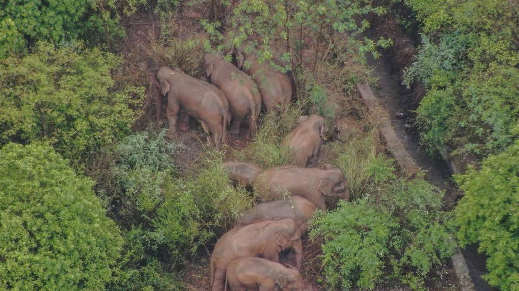 云南北遷亞洲象群在玉溪市易門縣小范圍迂回遷移