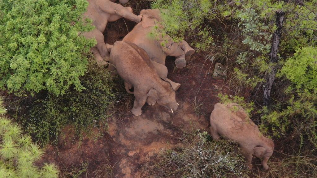 云南北遷亞洲象群持續在玉溪市易門縣活動