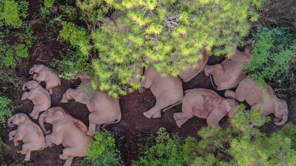 云南將幫助北遷亞洲象逐漸返回適宜棲息地