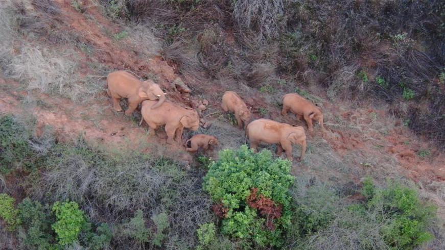 云南北移亞洲象群向西北小范圍移動