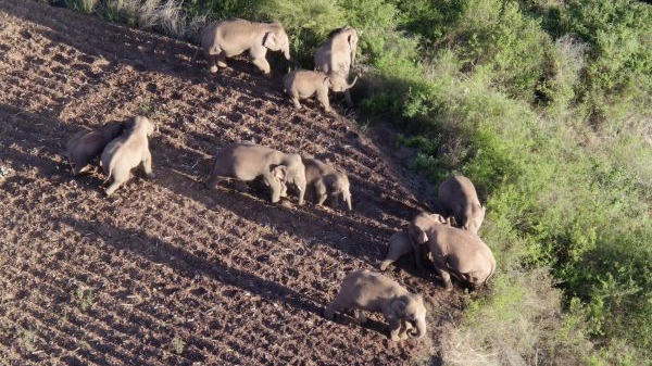 英媒:中国流浪象群引发对动物保护关注