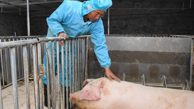 """让猪住上13层""""猪旅馆""""美媒:中国养殖业提升生物安全水平"""
