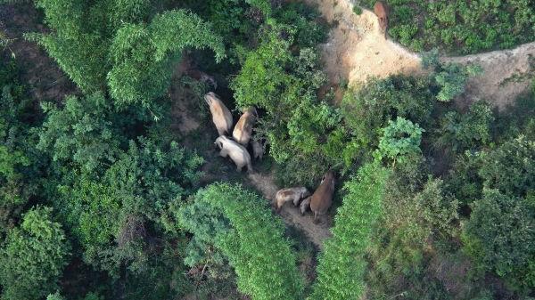 外媒:云南引导流浪象群返回家乡