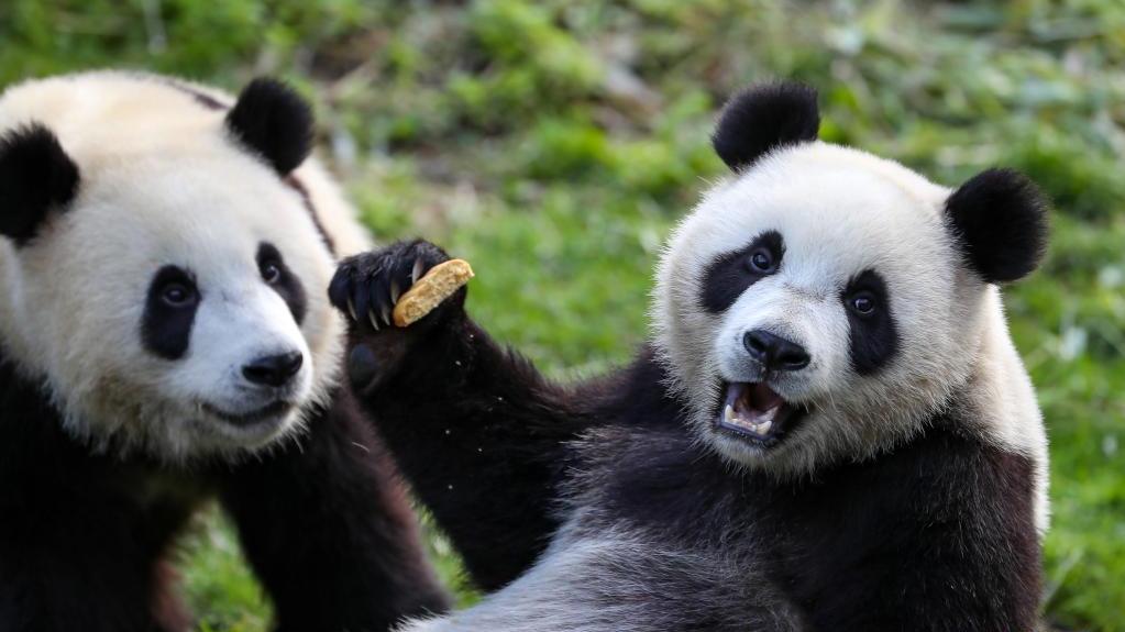 """比利时:大熊猫双胞胎""""宝弟""""""""宝妹""""迎来两岁生日"""
