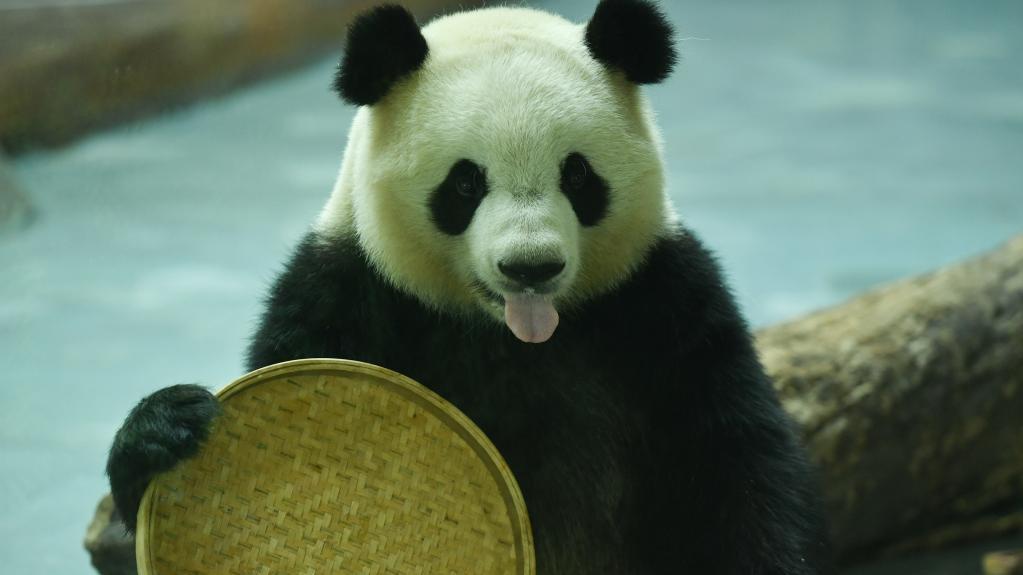 """青海西宁:大熊猫""""萌""""动假期"""